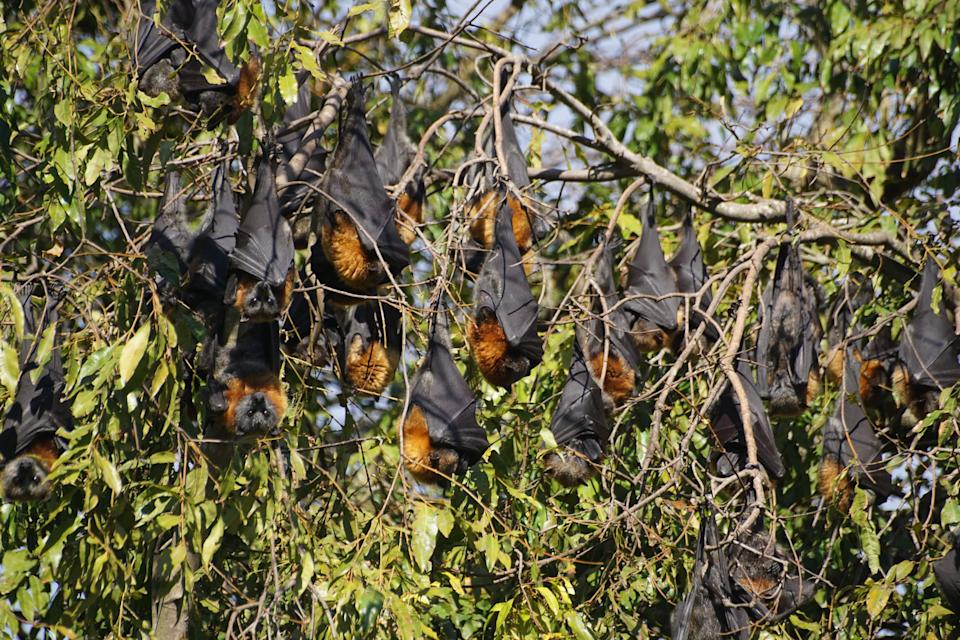 Flying foxes roosting in Colac