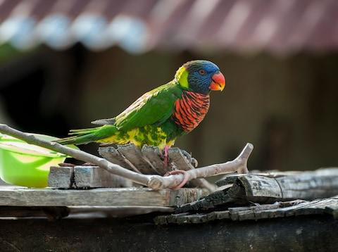 A rainbow lorikeet - Credit: getty