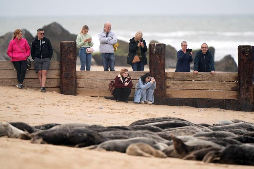 Hundreds of pregnant grey seals have come ashore ready for the start of the pupping season (Joe Giddens/ PA) (PA Wire)