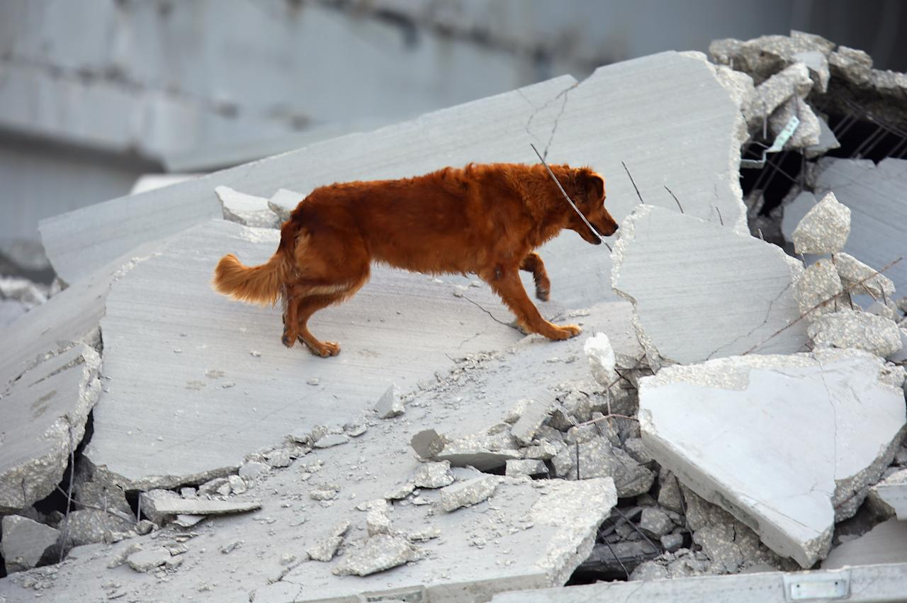 DORAL, FL - OCTOBER 10:  A Miami-Dade Rescue search and rescue dog looks for possible survivors in the rubble of a four-story parking garage that was under construction and collapsed at the Miami Dade College's West Campus on October 10, 2012 in Doral, Florida.  Early reports indicate that one person was killed in the collaspe, at least seven people injured and one may be buried in the rubble.  (Photo by Joe Raedle/Getty Images)