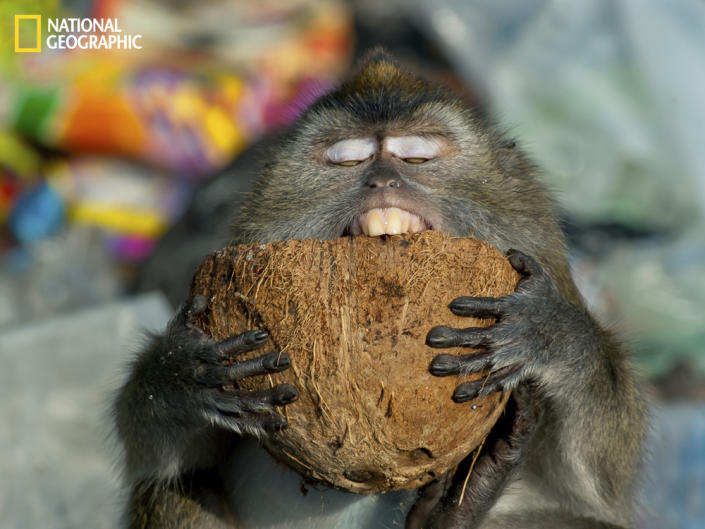 """Random garbage tips are a big problem here in Sabah but they are also a great source of wildlife. This long-tailed macaque enjoys munching on a coconut shell. (Photo and caption Courtesy Sarah Lim / National Geographic Your Shot) <br> <br> <a href=""""http://ngm.nationalgeographic.com/your-shot/weekly-wrapper"""" rel=""""nofollow noopener"""" target=""""_blank"""" data-ylk=""""slk:Click here"""" class=""""link rapid-noclick-resp"""">Click here</a> for more photos from National Geographic Your Shot."""