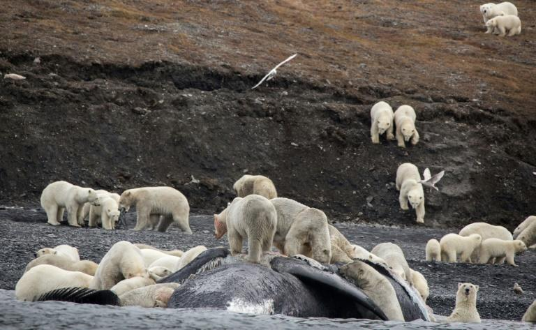 Tourists in the far eastern Russian Arctic spotted some 200 polar bears in September roaming on a mountain slope where they had feasted on a whale carcass, but scientists see the gathering as a sign of the Arctic changing