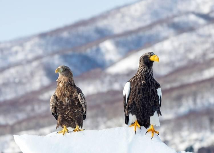 White-tailed eagle on the left, Stellar's sea eagle on the right