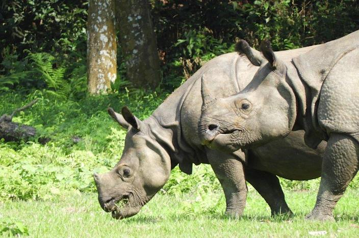 Two greater one-horned rhinos pictured grazing