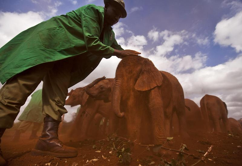 Two-month-old orphaned baby elephant Ajabu is given a dust-bath in the red earth after being fed milk from a bottle by a keeper, as she is too young to do it herself, at an event to mark World Environment Day at the David Sheldrick Wildlife Trust Elephant Orphanage in Nairobi, Kenya, Wednesday, June 5, 2013. Trust founder Daphne Sheldrick said at the event, which was attended by U.S. Ambassador to Kenya Robert Godec, that they are seeing an upsurge in orphaned elephants because of the poaching crisis occurring across Africa. (AP Photo/Ben Curtis)