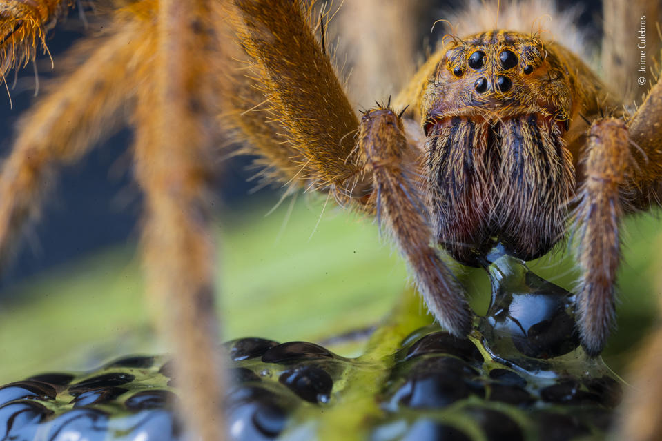 A large wandering spider –black, hooked fangs tipping its bristly, striped mouthparts –pierces the egg of a giant glass frog, injects digestive juices and then sucks in its liquefied prey.