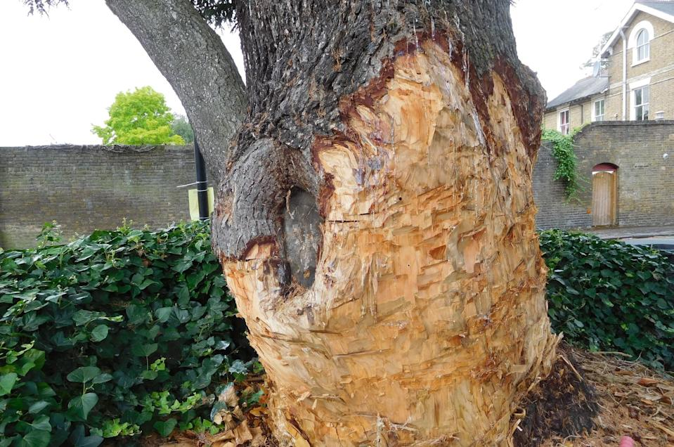 A homeowner who damaged a 90-year-old tree (pictured) so badly it had to be felled has been fined over £60,000. See SWNS story SWLEtree; Stephen Lawrence repeatedly hacked at the mature cedar in a bid to remove it from the front of his Grade II-listed property. He had previously made to failed applications to fell the protected tree, which sits in a conservation area in Chelmsford, Essex. Despite warnings, Lawrence continued to damage the tree by completely stripping the lower trunk of its bark. Council officials also discovered holes drilled into the trunk, which is a sign of someone attempting to poison the tree. Appearing at  Basildon Magistrates Court on December 12, Lawrence pleaded guilty to wilful damage to a protected tree.