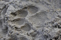 A track from a wolf is seen in the mud near the Slough Creek area of Yellowstone National Park, Wyo., Wednesday, Oct. 21, 2020. Wolves have repopulated the mountains and forests of the American West with remarkable speed since their reintroduction 25 years ago, expanding to more than 300 packs in six states. (AP Photo/Matthew Brown)