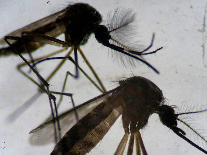 <p>A male (top) and a female (bottom) Aedes aegypti mosquitos are seen through a microscope at the Oswaldo Cruz Foundation laboratory in Rio de Janeiro, Brazil, on 14 August 2019</p> (AFP via Getty Images)
