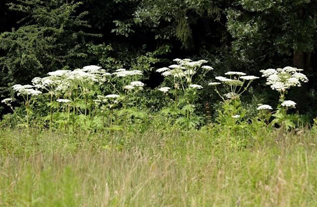 Hogweed is spreading in the US, and caused serious burns on a 17-year-old boy. (Photo: Getty Images)
