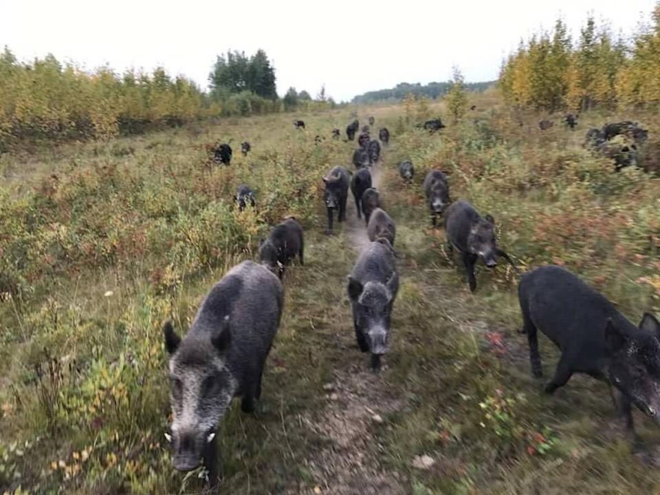 Wild pigs are smart, destructive and adaptable, according to researcher Ryan Brook. (Submitted by Ryan Brook - image credit)