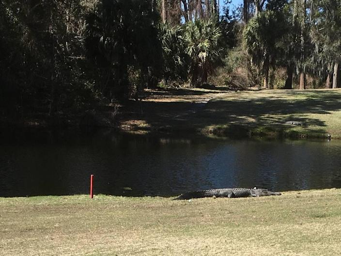 A golf ball on Shipyard Golf Course on Hilton Head came to rest on an alligator's head March 5. This photo has been cropped and was taken from a safe distance.