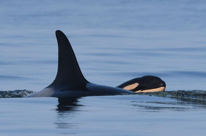 Orca that carried dead calf for 17 days in 2018 gives birth again