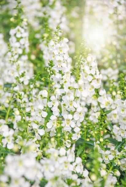 """<p>If you're not planting this annual, you're missing out! Angelonia come in both upright and cascading forms. They look amazing starring alone in a container, but they're also fabulous in a mixed container. </p><p><a class=""""link rapid-noclick-resp"""" href=""""https://www.provenwinners.com/plants/angelonia/angelface-cascade-white-summer-snapdragon-angelonia-hybrid"""" rel=""""nofollow noopener"""" target=""""_blank"""" data-ylk=""""slk:SHOP ANGELONIA"""">SHOP ANGELONIA</a></p>"""
