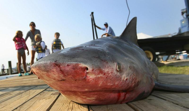 FILE - This is a July 22, 2007, file photo of a 263-pound bull shark caught by Jeremy Powers is displayed J during the final day of the 75th annual Alabama Deep Sea Fishing Rodeo on Dauphin Island, Ala. France says on Wednesday Aug. 1, 2012 it will pay fishermen who kill bull sharks in waters off the French Indian Ocean island of Reunion, following a spike in shark attacks and the death of a surfer last week. Authorities described the financial incentives as unprecedented for the French-administered island and necessary to encourage shark killings. (AP Photo/Press-Register, G.M. Andrews, File)