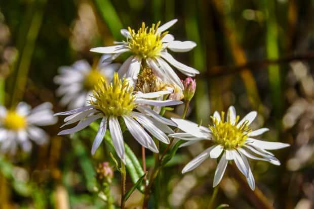 Based on a 2019 survey, the Nahanni aster has a population of an estimated 130,000 stems, all located within the boundaries of the Nahanni National Park Reserve in the Northwest Territories. It is officially a species at risk. (M.Beaujot/Parks Canada - image credit)