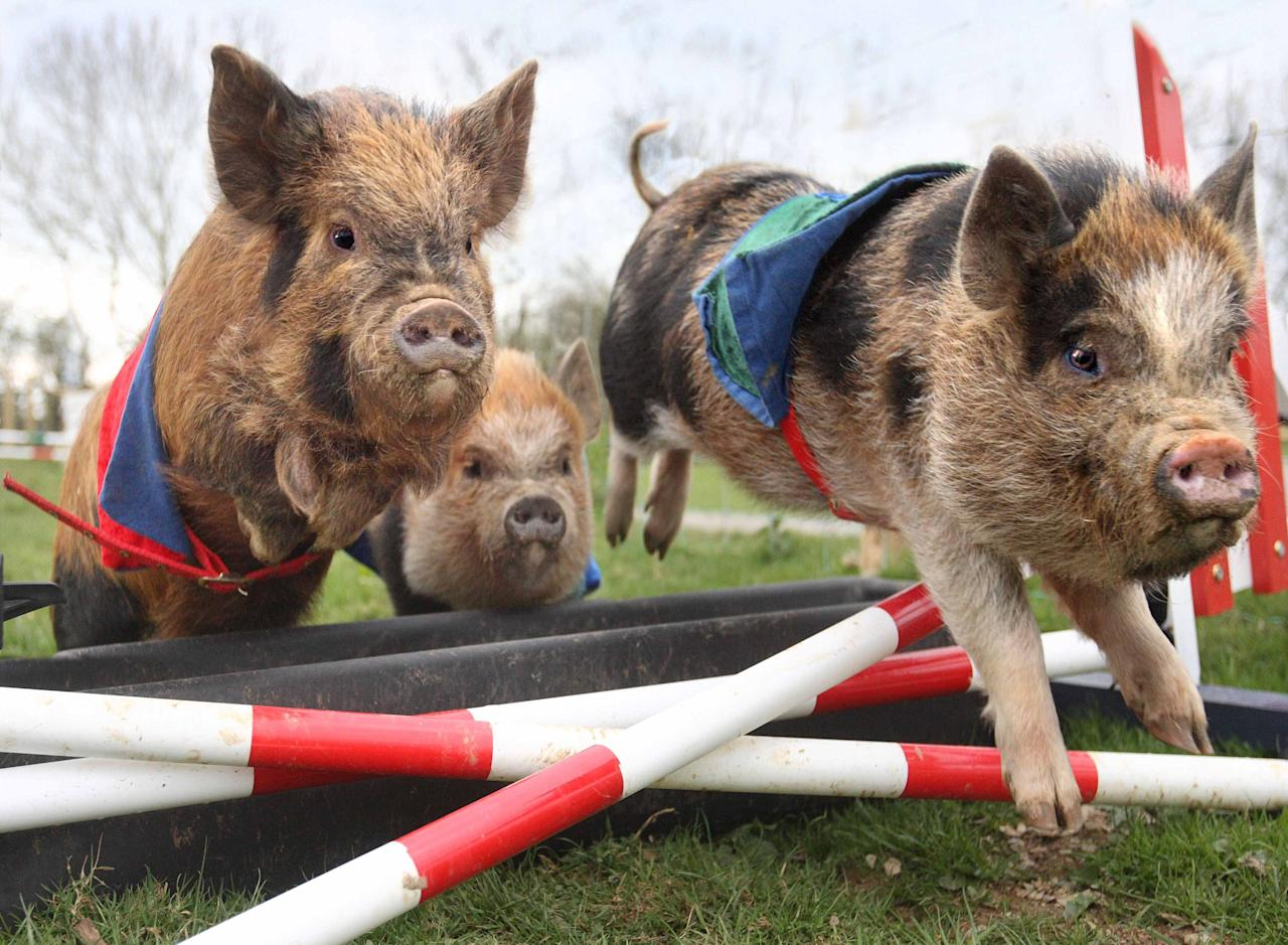 Miniature piglet racing is proving to be a huge hit at Pennywell Farm in Devon. After months of planning and training of the teenage competitors, the likes of Silk Purse and Lester Piglet recently took to the course.