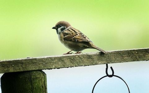 The endangered tree sparrow - Credit:  David Burges