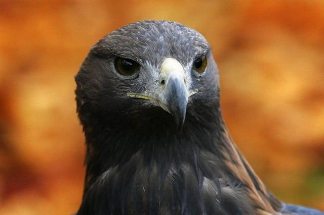 Golden eagle 'disappears in suspicious circumstances' in Scotland