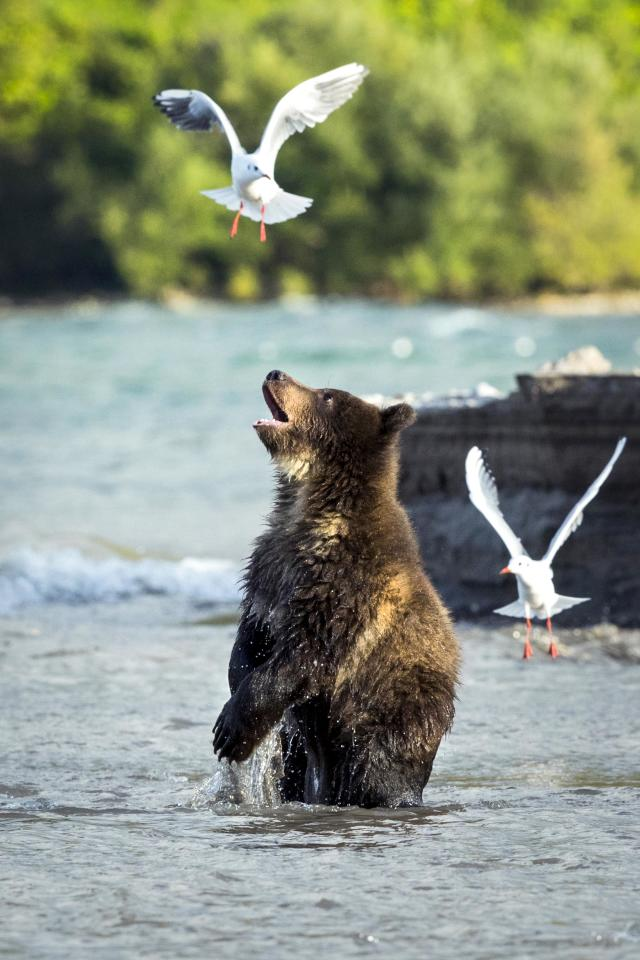 <p>A bear plays with seagulls in Kurile Lake in Kamchatka, Russia. (Photo: Rosh Kumar/Caters News) </p>