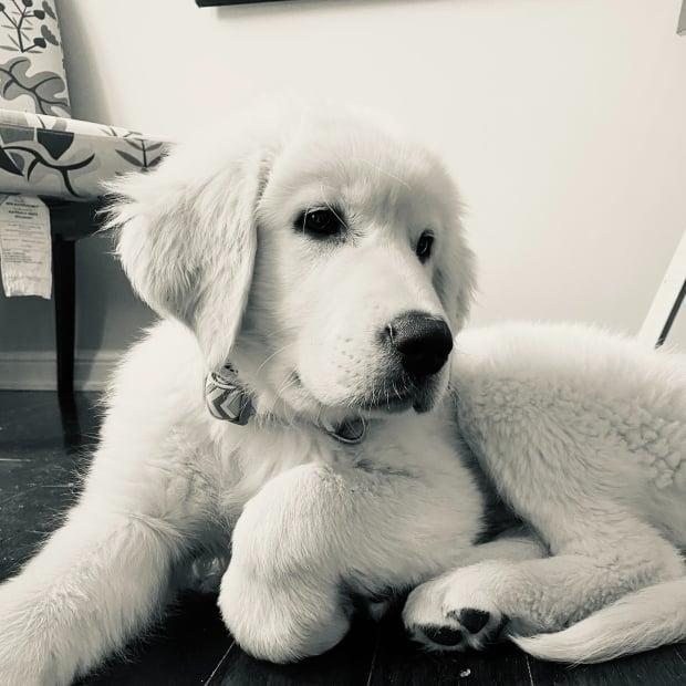 Hudson the puppy was stolen along with a Toyota pick up truck last week. Yesterday, police said, he was reunited with his family. (Halton Regional Police - image credit)