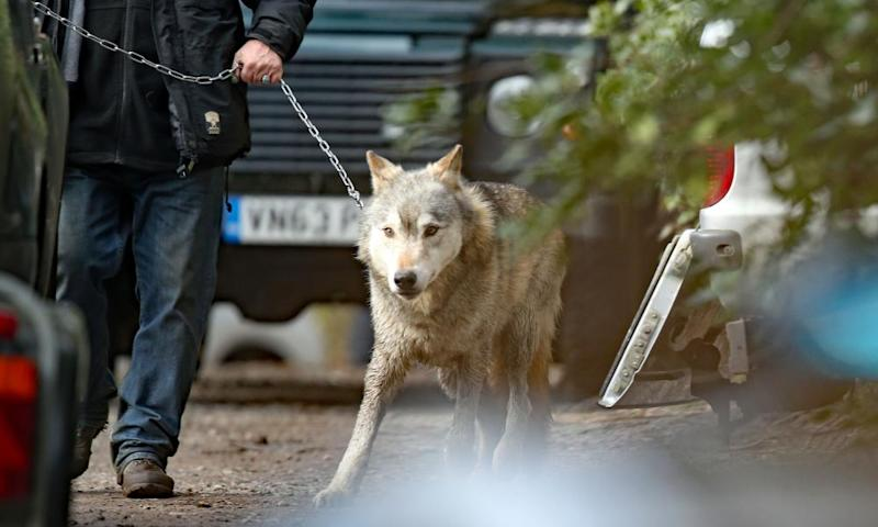 The escaped wolf is led by a handler to a trailer for its return to the UK Wolf Conservation Trust sanctuary near Reading