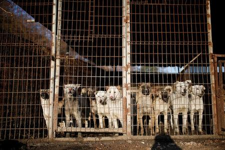 Dogs are pictured in cages at a dog meat farm in Wonju, South Korea, January 10, 2017.  REUTERS/Kim Hong-Ji