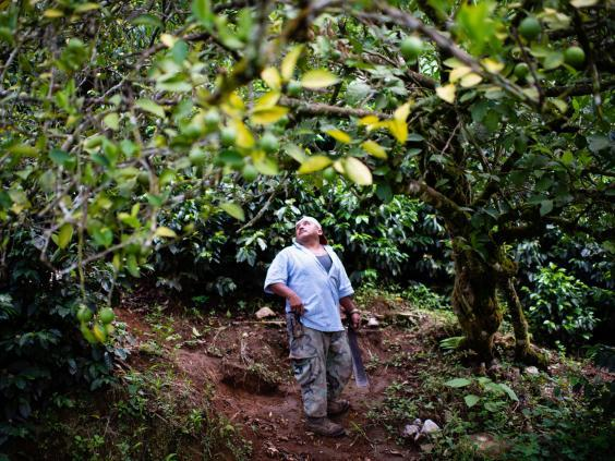 Carrillo says falling coffee prices mean he can no longer make a profit on the once-lucrative crop (Sarah L Voisin/Washington Post)