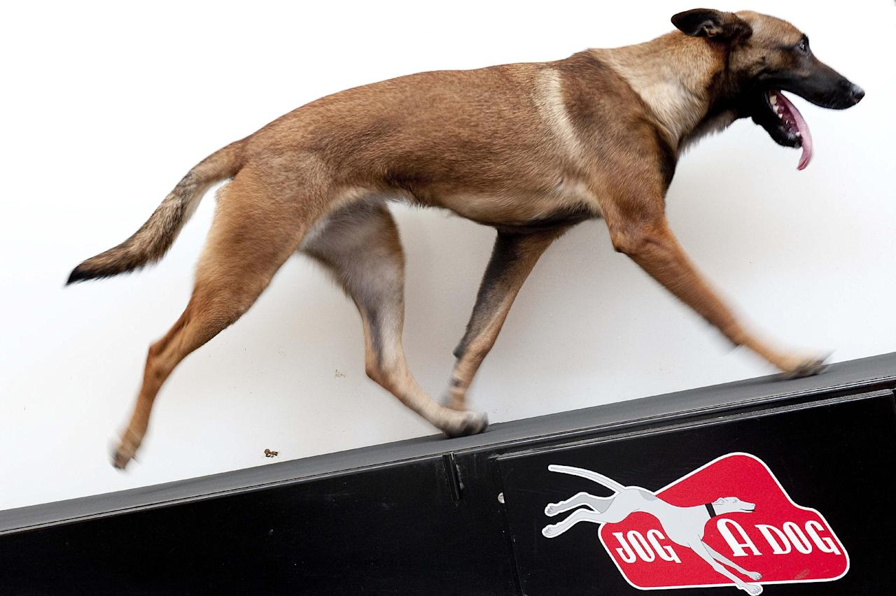 In this Aug. 8, 2012, photo, Chryses, a Belgian Malinois, walks the Jog-A-Dog treadmill as part of a demonstration in the enrichment center at LA Dog Works in Los Angeles. The Jog-A-Dog is an industrial model used for professional purposes, unlike the DogPacer, which is meant for home. (AP Photo/Grant Hindsley)