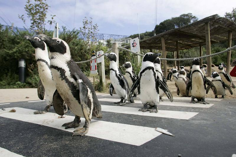 "FILE PICTURE - GV of the penguin enclosure at the Living Coasts in Torquay, Devon. A zoo has become the first in the UK to close permanently due to coronavirus. See SWNS story SWPLzoo. Living Coasts will not re-open as a visitor attraction after being unable to manage the ""substantial maintenance"" costs during lockdown. Zoos were given the green-light to open doors again from today (Monday) but several have delayed opening. And Living Coasts, which has been operating for nearly 20 years as a coastal zoo in Torquay, Devon, has now become the first to confirm its gates are staying closed. The zoo is currently looking at finding new homes for its animals and said it would do everything in its power to avoid the need to euthanise any of them. All 44 members of staff have now been placed at risk of redundancy."