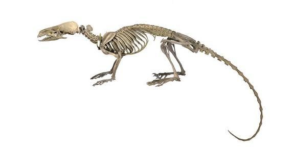An illustration of the hero shrew's skeleton. The ratlike animal has a bizarrely strong and oddly shaped backbone that has mystified scientists for more than 100 years.