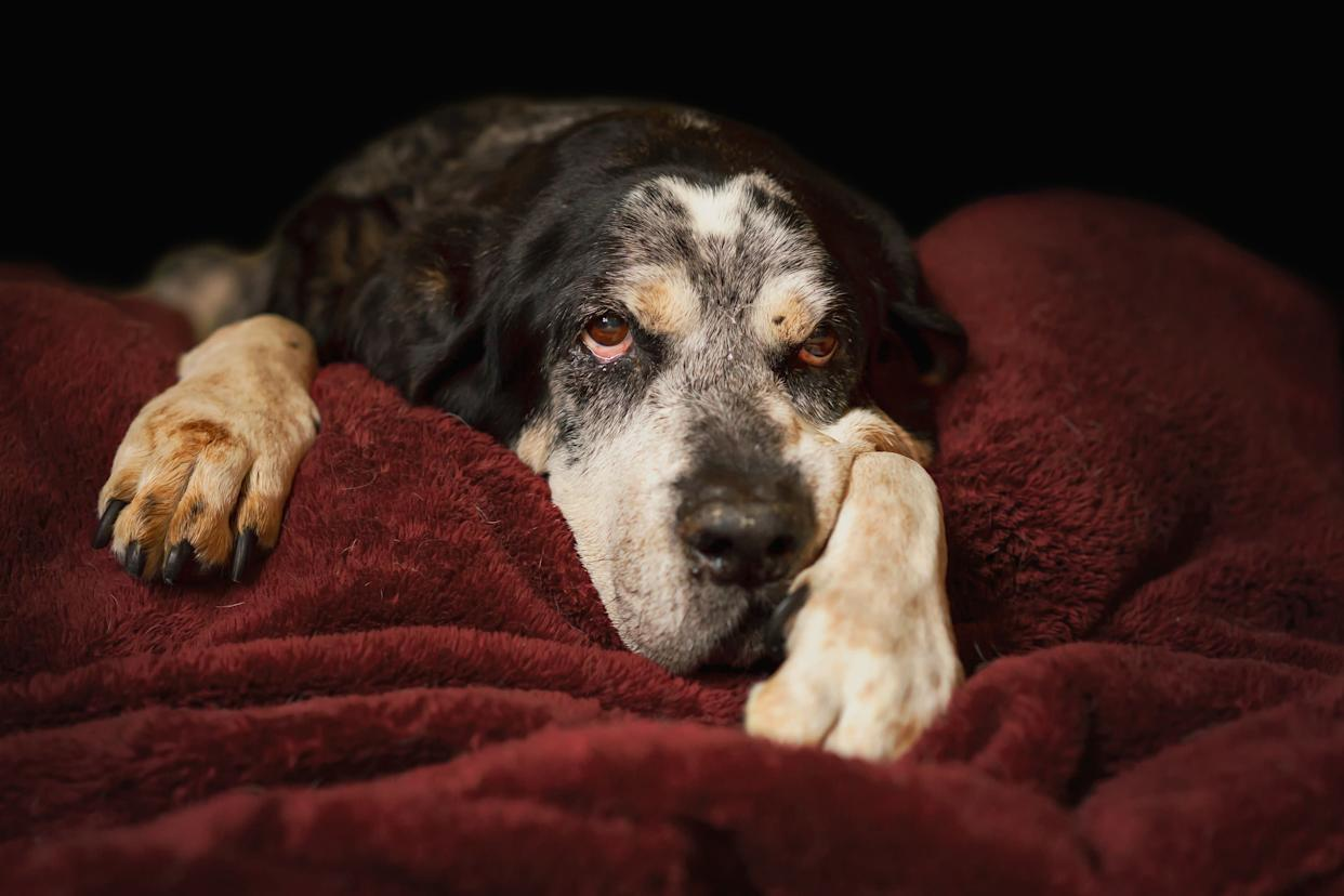 Old senior retired bluetick coonhound pet hunting dog lying down on blanket looking sleepy tired exhausted relaxed sad depressed sick ill frail comfortable lonely