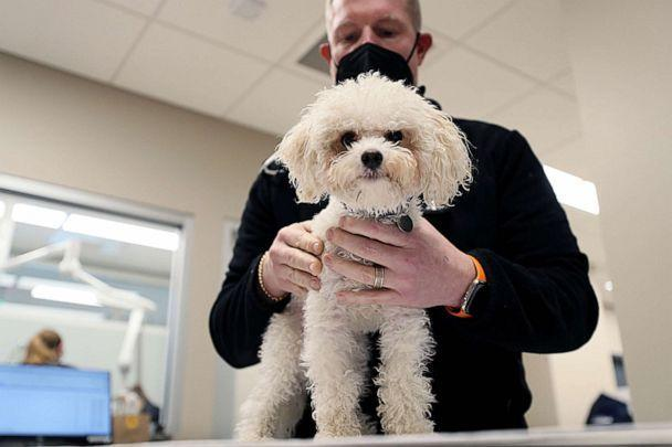 PHOTO: Veterinarian Brian Bourquin works on one of his patients in Boston, Jan. 27, 2021.  Bourquin was disheartened that veterinarians weren't prioritized until Phase 3 of vaccination plan despite being busy giving care to 'pandemic pets'. (Boston Globe via Getty Images, FILE)