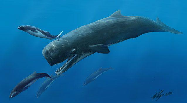 Extinct prehistoric killer whales are said to have fed off other smaller whales. Picture: Museum Victoria