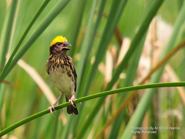 A male <strong>Streaked Weaver</strong> (<em>Ploceus manyar</em>) calls from a reed in Mangalajodi wetland of Odisha. Male weaverbirds build large nests of grass for females to inspect. Females reject several nests until they decide which one they like and mate with the lucky suitor.