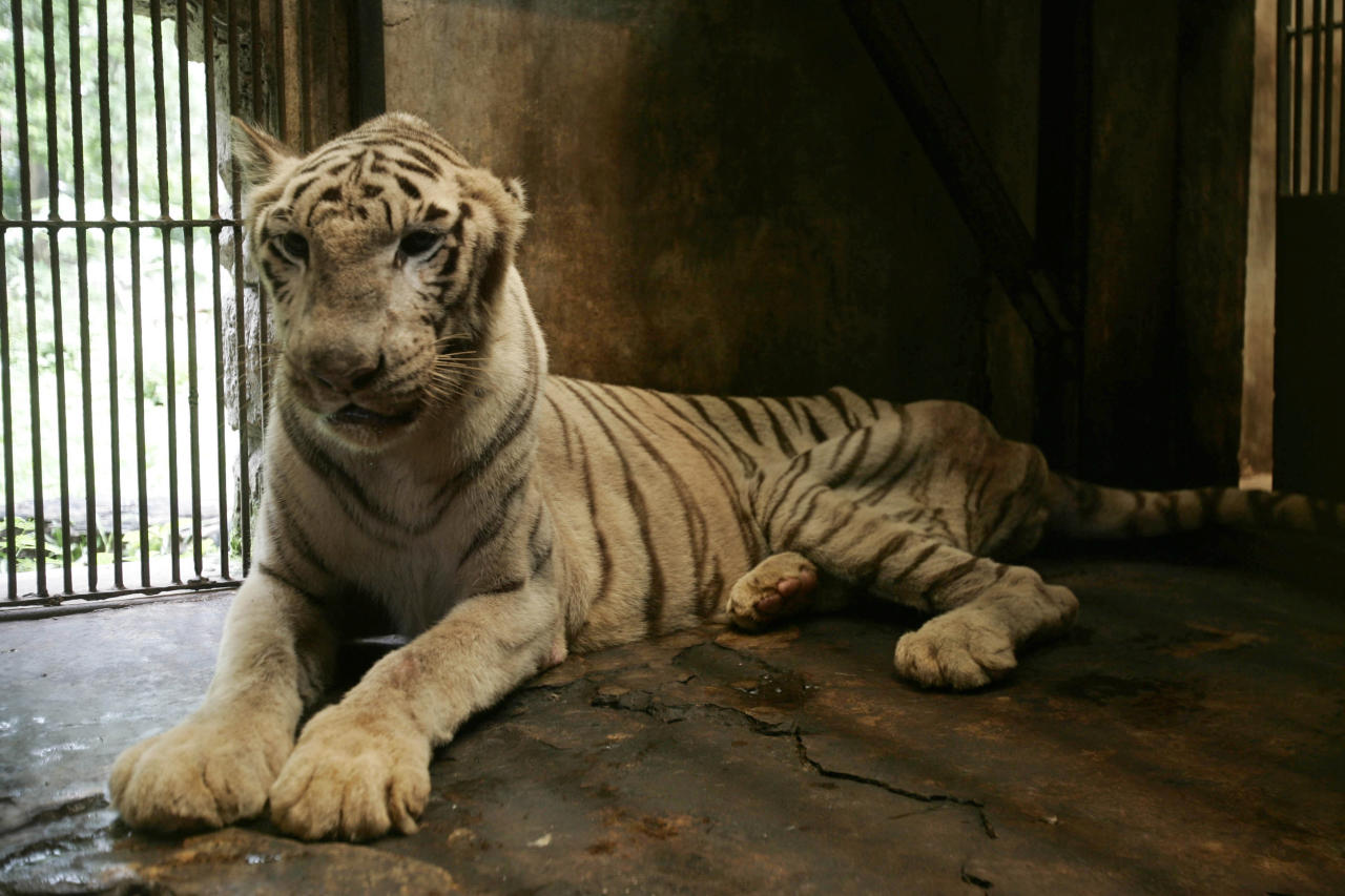 In this Saturday, March 10, 2012 photo, a bengal white tiger which is missing an ear and suffers from a spinal problem lays inside a cage at the quarantine section of Surabaya Zoo in Surabaya, East Java, Indonesia. Indonesia's biggest zoo, once boasting one of the most impressive and well cared for collections of animals in Southeast Asia, is struggling for its existence following reports of suspicious animal deaths and disappearances of endangered species. (AP Photo/Trisnadi)