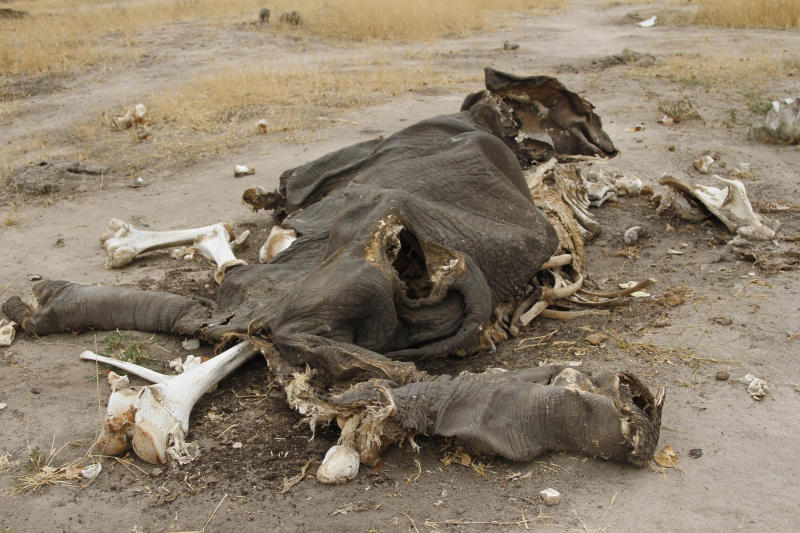 In this Sunday, Sept. 29, 2013 photo, rotting elephant carcasses in Hwange National Park , Zimbabwe. The stench of rotting elephant carcasses hangs in the air in northwestern Zimbabwe where wildlife officials say at least 91 animals have been poisoned with cyanide by poachers who hack off the tusks for the lucrative illegal ivory market. Wildlife officials now say at least 91 animals have been poisoned with cyanide by poachers who hack off the tusks for the lucrative illegal ivory market. Officials say cyanide used in gold mining was spread by poachers over the flat salt pans around water holes. (AP Photo)