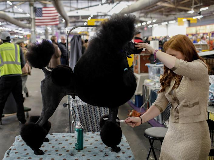 A standard poodle is groomed at Westminster in 2017.