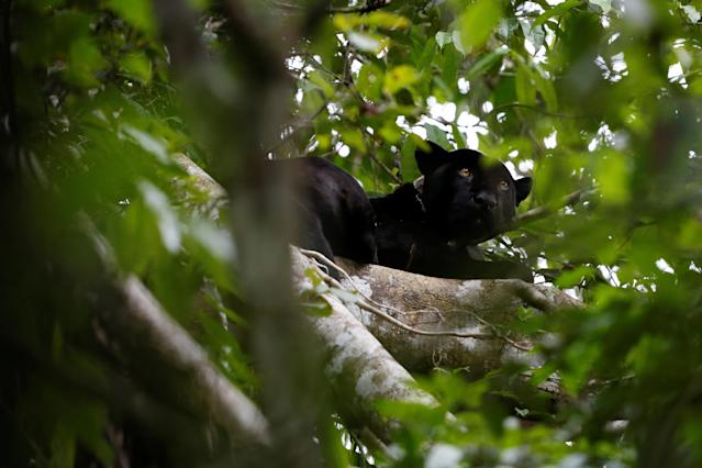 <p>A black male jaguar looks out from atop a tree at the Mamiraua Sustainable Development Reserve in Uarini, Amazonas state, Brazil, June 7, 2017. (Photo: Bruno Kelly/Reuters) </p>