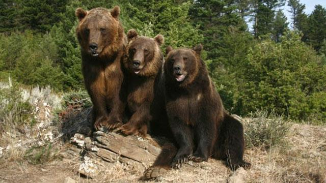 Montana Man Killed by Grizzlies
