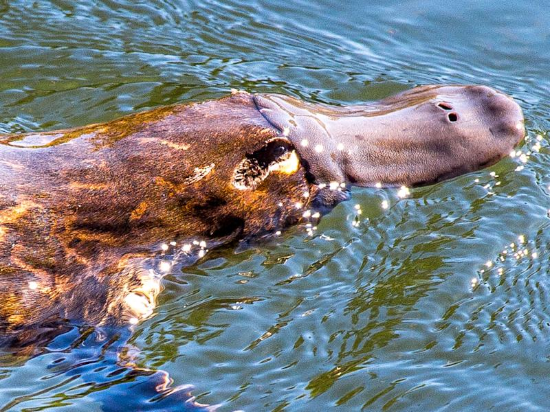 Platypus Milk Could Save Lives