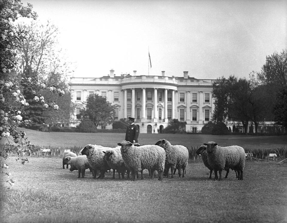 """<p>During WWI, President Woodrow Wilson used the White House lawn to make a unique statement about his support for American troops — by having a flock of sheep graze on the grass. </p> <p>""""The sight of sheep grazing on the south lawn of the White House may seem unusual, but during World War I, it was a highly visible symbol of home front support of the troops overseas,"""" the White House Historical Association explains. """"The flock, which numbered 48 at its peak, saved manpower by cutting the grass and earned $52,823 for the Red Cross through an auction of their wool."""" </p> <p>The Wilson family also stopped entertaining at the White House and worked to raise money for the war effort through various public programs in an effort to be """"a model American family."""" </p>"""