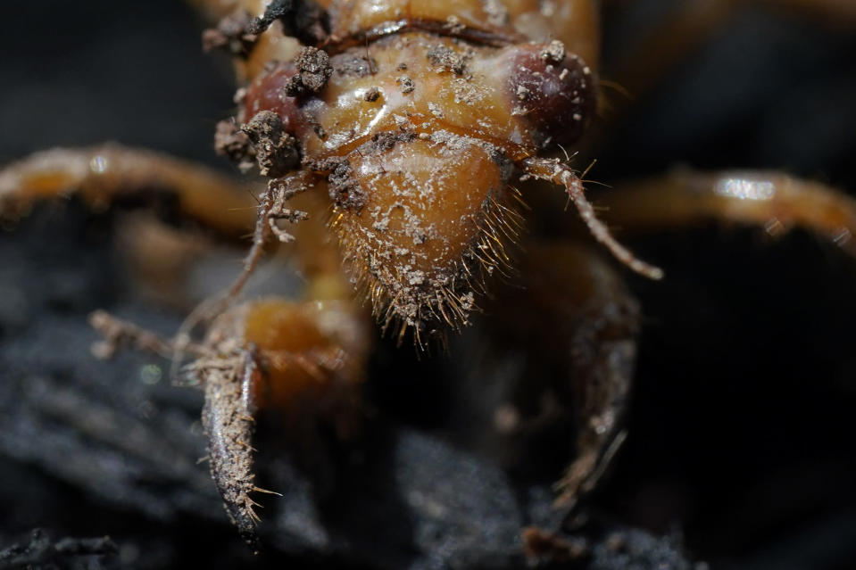 A dirt covered cicada nymph is seen Sunday, May 2, 2021, in Frederick, Md. The cicadas of Brood X, trillions of red-eyed bugs singing loud sci-fi sounding songs, can seem downright creepy. Especially since they come out from underground only ever 17 years. (AP Photo/Carolyn Kaster)