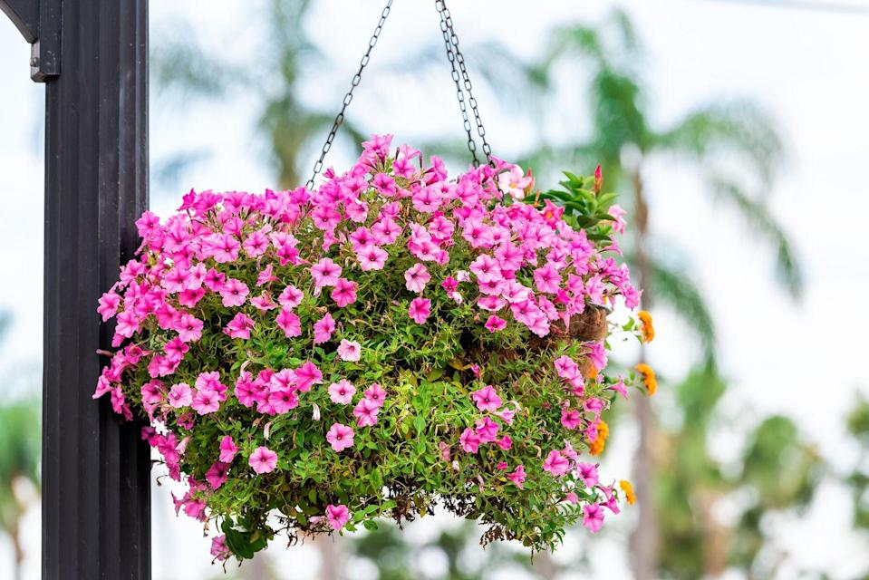 <p>Commonly referred to as Million Bells or trailing petunia, the pretty-in-pink plant is a container garden go-to for its fast-growing florals and variety of colors. Plant calibrachoa outdoors in the late spring in well-drained soil and you can enjoy the foliage until fall. </p><p><strong>Zones: 9-11</strong></p>