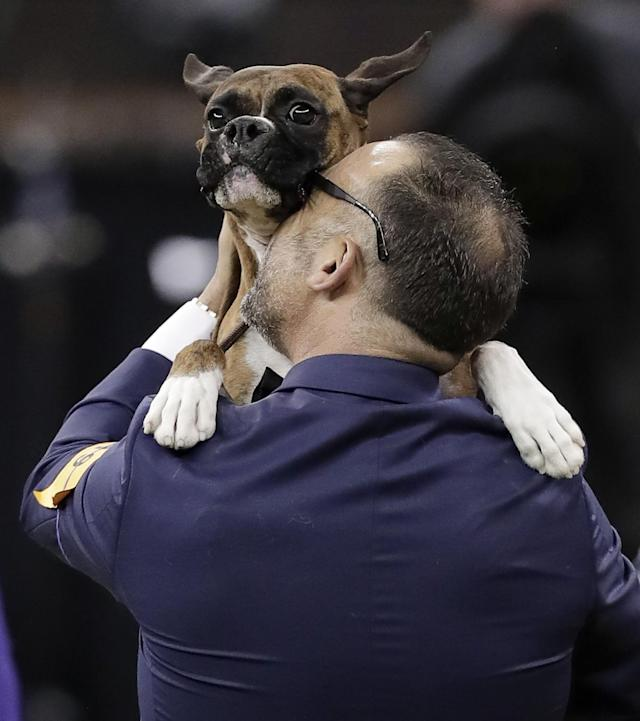 <p>Handler Diego Garcia lifts up boxer Devlin after she won the working group competition during the 141st Westminster Kennel Club Dog Show, Tuesday, Feb. 14, 2017, in New York. (AP Photo/Julie Jacobson) </p>