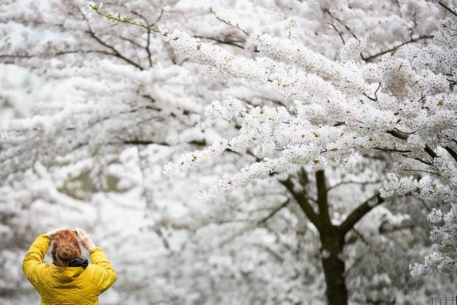 A woman takes a photo of the blossoms