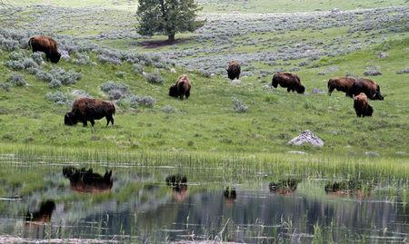 FILE PHOTO - A herd of bison graze in Lamar Valley in Yellowstone National Park, Wyoming, U.S. on June 20, 2011.  REUTERS/Jim Urquhart/File Photo