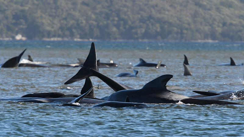 This photograph taken on September 21, 2020 shows a pod of whales stranded on a sandbar in Macquarie Harbour on the rugged west coast of Tasmania. (Photo: - via Getty Images)