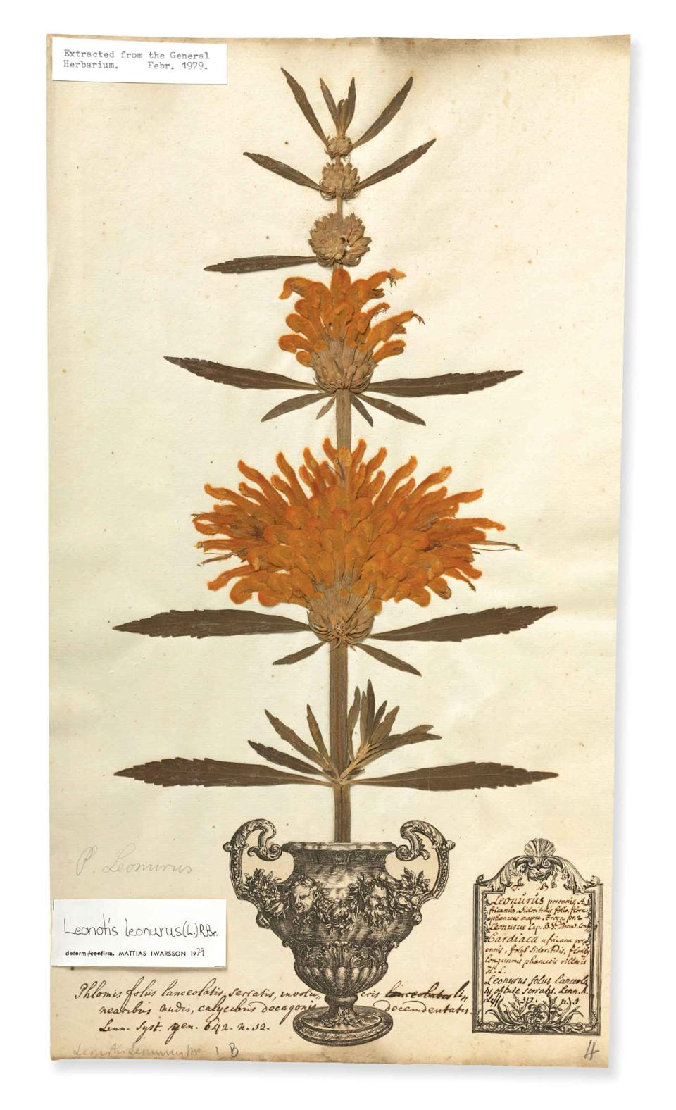 George Clifford's herbarium sheet – this early collection of dried and pressed plants helped young Swedish scientist Carl Linnaeus to devise a structure for naming specimens. Linnaeus is considered the 'father of modern botany' and his system of classification is still in use today. (Natural History Museum)