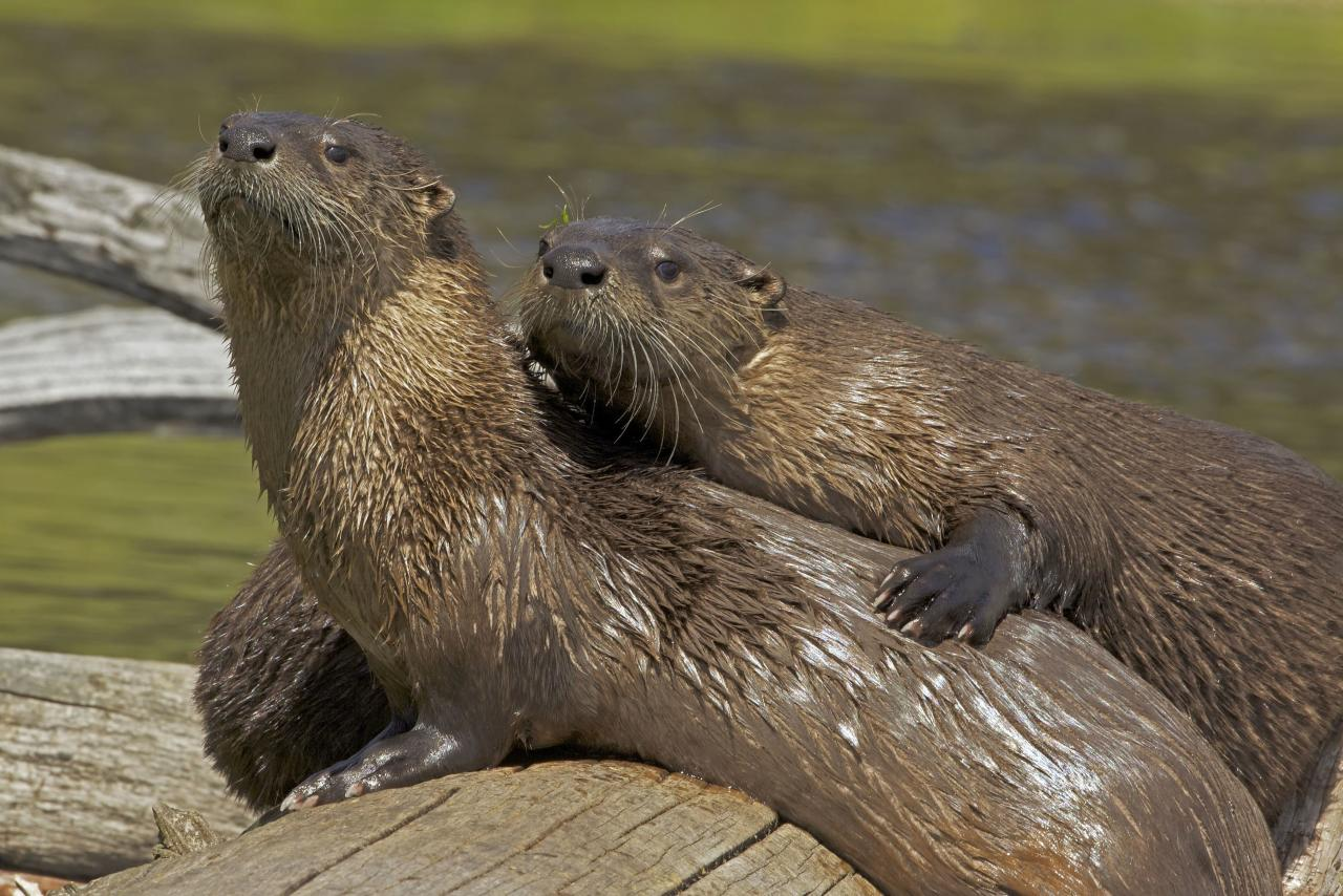 ** MANDATORY BYLINE ** PIC BY JOHN CANCALOSI / ARDEA / CATERS NEWS - (Pictured river otters cuddling) - From a loving look to an affectionate nuzzle, these are the charming images of cute creatures cosying up for Valentines Day. And as the heart-warming pictures show the animal kingdom can be just as romantic as us humans when it comes to celebrating the big day. SEE CATERS COPY.